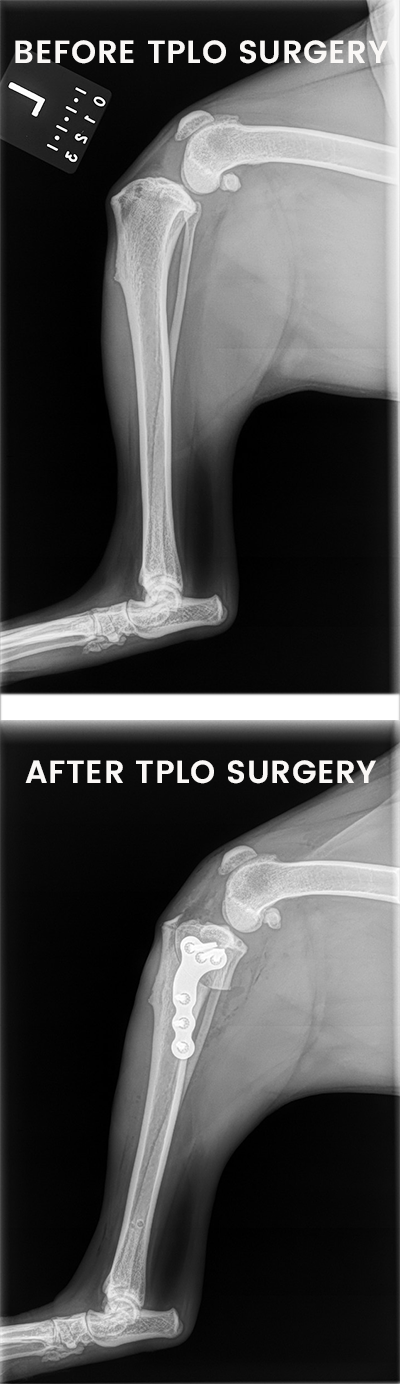 Hopkinton Animal Hospital offers  TPLO (Tibial Plateau Leveling Osteotomy) Surgery on dogs who have torn their cranial cruciate ligament, also commonly referred a dog's torn ACL.